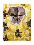 Pressed Pansy Background Art by  ttbphoto