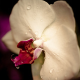 White Orchid Flower Prints by  topdeq