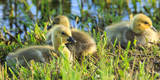 USA, Oregon, Baskett Slough NWR, Canada Goose goslings. Photographic Print by Rick A. Brown