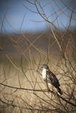 USA, Oregon, Baskett Slough NWR, immature Red-tailed Hawk Photographic Print by Rick A. Brown