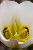 Capitol Reef NP, Utah, USA Detail, blossom of sego lily. Photographic Print by Scott T. Smith