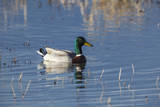 USA, Oregon, Baskett Slough NWR, drake Mallard. Photographic Print by Rick A. Brown