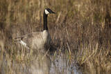 USA, Oregon, Baskett Slough NWR, a Canada Goose. Photographic Print by Rick A. Brown