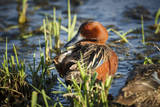 USA, Oregon, Baskett Slough NWR, Cinnamon Teal drake preening. Photographic Print by Rick A. Brown