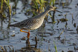 USA, Oregon, Baskett Slough NWR, Lesser Yellowlegs foraging. Photographic Print by Rick A. Brown