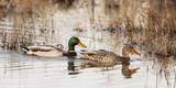 USA, Oregon, Baskett Slough NWR, pair of Mallards. Photographic Print by Rick A. Brown