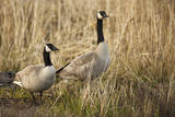 USA, Oregon, Baskett Slough NWR, a pair of Canada Geese. Photographic Print by Rick A. Brown