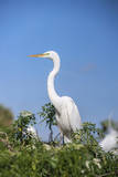 USA, Florida, Orlando. Great Blue Heron at Gatorland. Photographic Print by Lisa S. Engelbrecht