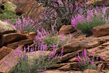 Capitol Reef NP, Utah, USA Northern sweetvetch in bloom. Photographic Print by Scott T. Smith