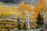 Aspens and willow thickets along U M Creek. Fishlake, Utah, USA Photographic Print by Scott T. Smith