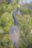 USA, Florida, Orlando. tricolored heron at Gatorland. Photographic Print by Lisa S. Engelbrecht