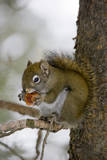 Red squirrel eating pine cones, Harriman SP, Idaho, USA Photographic Print by Scott T. Smith