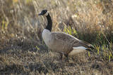 USA, Oregon, Baskett Slough NWR, Canada Goose. Photographic Print by Rick A. Brown