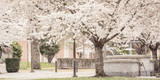 USA, Oregon, Salem, Snowing cherry blossoms. Photographic Print by Rick A. Brown