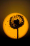 Utah, USA Seed head of dandelion silhouetted at sunset. Photographic Print by Scott T. Smith