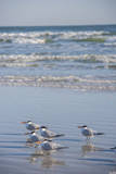 USA, Florida, New Smyrna Beach, Royal Terns on beach. Photographic Print by Lisa S. Engelbrecht
