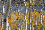 Aspen trees in above Fish Lake. Fishlake National Forest, Utah, USA Photographic Print by Scott T. Smith