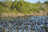 USA, Florida, Merritt Island, National Wildlife Refuge, American Coot. Photographic Print by Lisa S. Engelbrecht