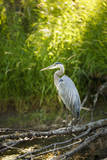 USA, Washington State, Ridgefield NWR, Great Blue Heron. Photographic Print by Rick A. Brown