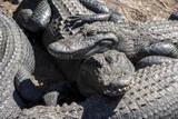 USA, Florida, St. Augustine, Alligator Farm, alligators. Photographic Print by Lisa S. Engelbrecht