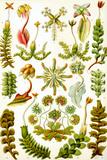 Hepaticae Nature Prints by Ernst Haecke