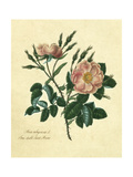 Sweet Briar Rose Giclee Print by Mary Lawrence