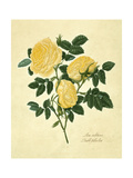Double Yellow Rose Art by Mary Lawrence