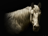 Horse Portrait VI Photographic Print by David Drost