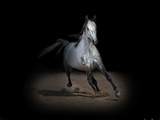 Horse Portrait IX Photographic Print by David Drost