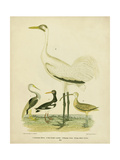 Antique Crane and Heron Prints by Alexander Wilson