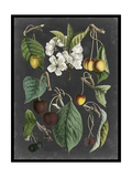 Orchard Varieties II Print by  Vision Studio