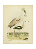 Antique Spoonbill and Sandpipers Affiches par Alexander Wilson