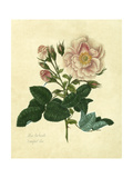 Frankfort Rose Prints by Mary Lawrence