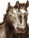 Horse Portrait III Photographie par David Drost
