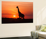 Giraffe Suckling Young One, Maasai Mara Wildlife Reserve, Kenya Wall Mural by Jagdeep Rajput