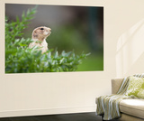 Very Cute Black Tailed Prairie Dog (Cynomys Ludovicianus) Wall Mural by  l i g h t p o e t