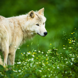 Arctic Wolf (Canis Lupus Arctos) Aka Polar Wolf Or White Wolf Wall Mural by  l i g h t p o e t