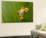 Red Eyed Tree Frog Peeping Curiously Between Green Leafs In Costa Rica Rainforest Wall Mural by  kikkerdirk