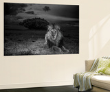 A Dark-Maned Male Lion known as C-Boy Wall Mural by Michael Nichols