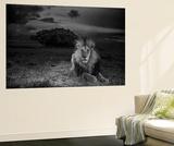 A Dark-Maned Male Lion known as C-Boy Mural por Nichols, Michael