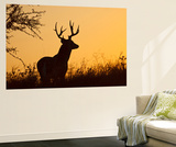 White-Tailed Deer (Odocoileus Virginianus) Male in Habitat, Texas, USA Wall Mural by Larry Ditto