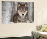 Grey Wolf (Canis Lupus) Next To Birch Tree Wall Mural by  hkuchera