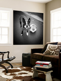 Boston Terrier with Soccer Ball Wall Mural by Theo Westenberger