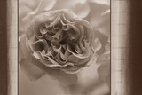 Sepia Blossom Posters by  Morgan / Hibberd