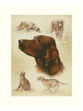 Irish Setter Prints by Libero Patrignani