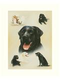 Labrador Prints by Libero Patrignani