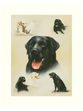 Labrador Prints by Libero Patrignani