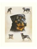 Rottweiler Print by Libero Patrignani