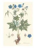 Geranium Pratense Prints