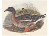 Ducks Prints